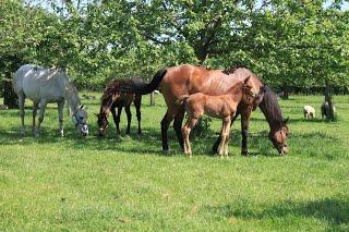 Les chevaux du haras de Canon